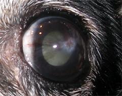 Wrzód na lewym oku.